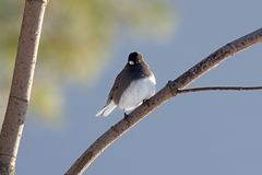 Junco Perched On a Branch Stock Photo