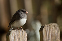Junco perched on a fencepost Royalty Free Stock Photography