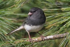 Junco In A Pine Tree Stock Images
