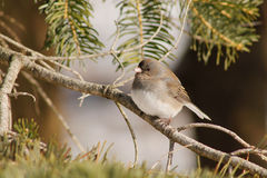 Junco in Pine Tree. Junco Perched in Pine Tree Stock Photos
