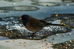 Junco Searching. One Dark-eyed Junco looking for food Stock Photo