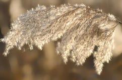 Junco seco no rio, nas sementes do bast?o e na infloresc?ncia Grama de ling?eta dourada na primavera na luz solar brilhante Natur imagens de stock royalty free