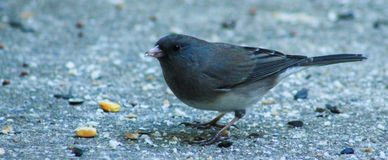 Junco-with seeds Stock Image