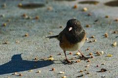 Junco Shadow. One Dark-eyed Junco looking for birdseed Royalty Free Stock Photo