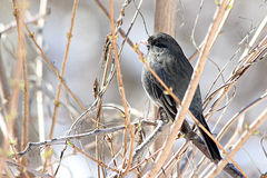 Junco. Sitting on a branch of a tree Royalty Free Stock Images