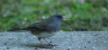 Junco-smutsig fågel Fotografering för Bildbyråer