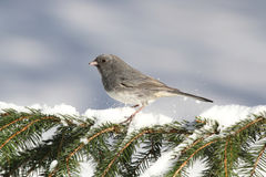 Junco On A Snow-covered Branch Royalty Free Stock Images