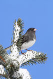 Junco On A Snow-covered Branch Stock Images