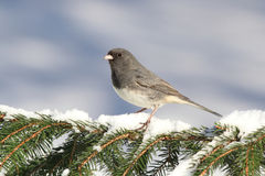 Junco On A Snow-covered Branch Royalty Free Stock Image