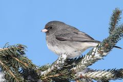 Junco On A Snow-covered Branch Stock Photography