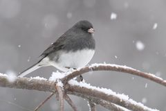 Junco On A Snow-covered Branch Royalty Free Stock Photos