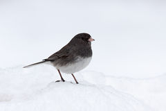 Junco in Snow. With its feet buried in a mound of snow, only the dark gray head and wings of this junco separate it from a snowy white background stock photos