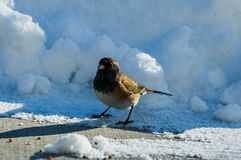 Junco in the Snow. One Dark-eyed Junco in the Snow Royalty Free Stock Photography