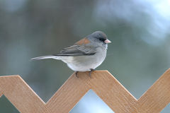 The Junco Sparrow Royalty Free Stock Photography