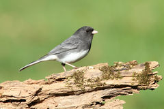 Junco On A Stump Stock Photo