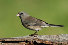 Junco On A Stump Stock Image