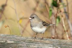 Junco On A Stump Royalty Free Stock Photo