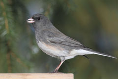 Junco On A Stump Stock Photography