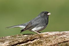 Junco On A Stump Royalty Free Stock Photos