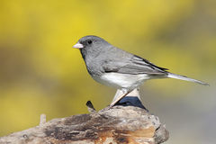 Junco On A Stump In Spring Royalty Free Stock Images