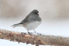 Junco su un ramo in una tempesta della neve Fotografie Stock