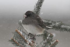 Junco sur une branche dans une tempête de neige Image stock