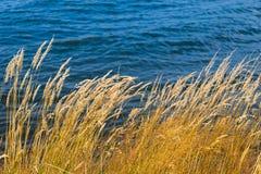 Juncos da grama perto do lago Fotografia de Stock