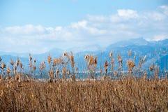 Juncos e montanhas amarelos. Foto de Stock