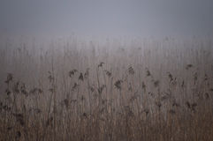 Juncos em uma área do pantanal do fogy Fotografia de Stock Royalty Free
