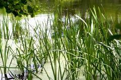 Juncos em uma lagoa Imagens de Stock