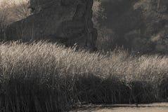 Juncos no banco de rio Foto monocromática fotografia de stock