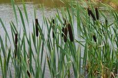 Juncos no lago foto de stock royalty free