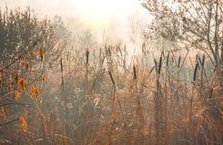 Juncos no outono do amanhecer do pântano Fotografia de Stock Royalty Free