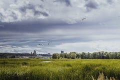 Juncos no vento e nas gaivotas Fotos de Stock