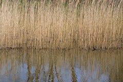 Juncos nos bancos do lago na exploração agrícola de Anna nos subúrbios de Hilversum Imagens de Stock Royalty Free