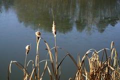 Juncos perto de uma lagoa no inverno imagens de stock