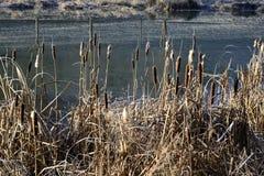 Juncos perto de uma lagoa no inverno fotografia de stock royalty free