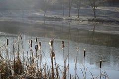 Juncos perto de uma lagoa no inverno foto de stock royalty free