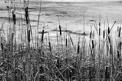 Juncos secos no pântano do inverno fotos de stock