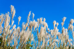 Juncos sob o céu claro Fotografia de Stock