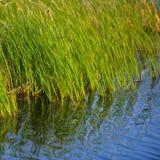 Juncos verdes e reflexão na água imagens de stock royalty free