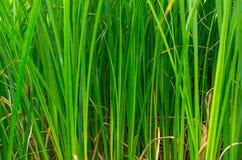 Juncos verdes no pântano Fotografia de Stock Royalty Free