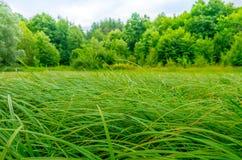Juncos verdes no pântano Fotos de Stock Royalty Free