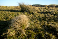 Juncus conglomeratus, known commonly as compact rush during sunset Peak District National Park Cheshire. Royalty Free Stock Images