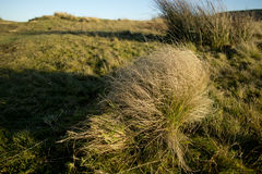 Juncus conglomeratus, known commonly as compact rush during sunset Peak District National Park Cheshire Stock Photo