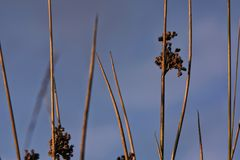 Juncus effesus - a species of rushes with faded flowers  in the Stock Image