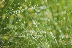 Juncus effusus in rain, UK, summer Stock Photography
