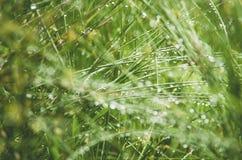 Juncus effusus in rain, UK, summer Stock Image