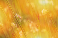 Juncus effusus in sunlight, obscure, UK, summer Stock Image
