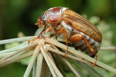 June Beetle (Amphimallon solstitiale) on the plant Royalty Free Stock Photo